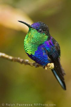 Violet-crowned Woodnymph - Costa Rica Hummingbirds - Ralph Paonessa Photography Workshops