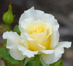 those white out petals with the yellow center Yellow Roses, White Roses, Rose Perfume, Rosa Rose, Flower Phone Wallpaper, Growing Roses, Hybrid Tea Roses, Single Rose, Flower Pictures