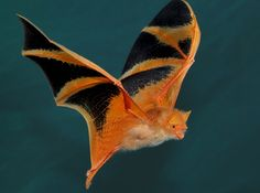 Image result for images tiny bats
