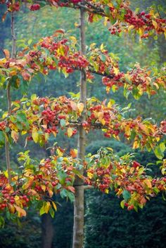 An espaliered crabapple in fall. Garden designer, Arne Maynard uses hazel branches cut from his property to form the supports for his free-standing espaliered crabapples. Arne Maynard Garden Design