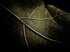 a leaf (macro)