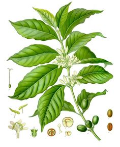 beautiful Botanical Print of the Coffee Plant #coffee #plant #bean