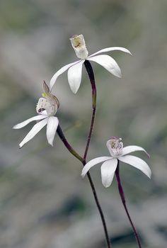 Orchid: Musky Caladenia: Caladenia gracilis  - Flickr - Photo Sharing!