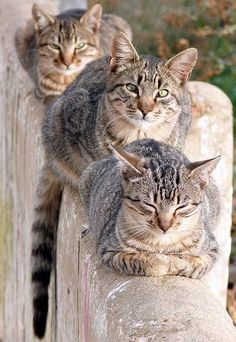 """Tabby cats- named with """"M"""" names after the M on their foreheads! Pretty Cats, Beautiful Cats, Animals Beautiful, Cute Animals, I Love Cats, Crazy Cats, Cool Cats, Gatos Cool, Animal Gato"""
