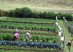 Gravity Drip Bucket Irrigation Systems for Vegetable Gardens Enhance Food Security for the Food Insecure | Big Picture Agriculture