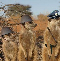 Meerkat Funny | Funny Pictures - Quayle's Circus - Spellhold Studios