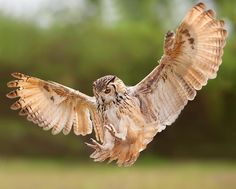 here's a pic of a swooping owl to go with the pic of the moth wearing owl camouflage! (that I pinned a few days ago)