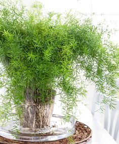 Asparagus aethiopicus 'Sprengeri' ~ Sprenger's Asparagus Fern - This is an annual fern like plant. These have a soft, delicate like appearance, and can reach heights to ft. Indoor Water Garden, Indoor Plants, Potted Plants, Plants Toxic To Dogs, Asparagus Plant, Asparagus Fern Care, Decoration Plante, Fern Plant, Foliage Plants