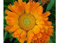 Mountain Rose Herbs: Calendula Annual and self seeding. Direct seed in warm soil and full sun. Will proliferate fast and easily. Harvest bright orange flowers throughout year. Premier healing agent in salves and tinctures, or can be masticated and applied to external injuries.