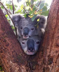 Koala ❤I never want to forget this picture