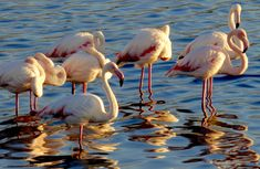 Greater flamingoes in Cape Town, South Africa ©Carolynne Geary