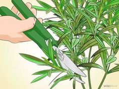 How to Prune Oleander. Oleander (Nerium oleander) is a beautiful evergreen shrub that produces flowers in a wide range of colors. Without pruning, oleander can grow up to tall. Pruning oleander can not only make the plant a more manageable. Petunias, Organic Gardening, Gardening Tips, Evergreen Shrubs, Garden Care, Plantar, Growing Herbs, Plantation, Botany