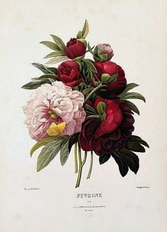 Peonies by Pierre Joseph Redout, 1835. When I have my library, which I am allowed to decorate any way I want to (as Jeff is his media room), I want this type of biological/Audobon-style prints.
