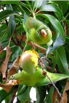 green parrots eating mangoes #CostaRica #birds #tropicalbirds