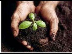 Purín de ortigas, abono e insecticida para plantas. Natural insecticide,...