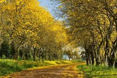 ipês amarelos colorem Curitiba _ Paraná /Brasil