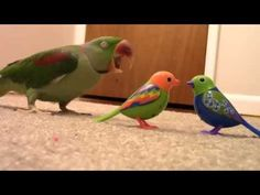 Megan received a set of interactive tabletop birds known as the DigiBirds for Christmas, so decided to see how her living, breathing parrot would react to the new arrivals. Sir William may have seen them as something of a threat! Credit: Scranton Travelers via Storyful