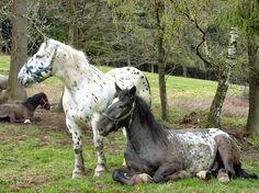 the draft horse breed of Austria Big Horses, Horses And Dogs, Pretty Horses, Horse Love, Dark Horse, Beautiful Horses, Animals And Pets, Cute Animals, Noriker Horse