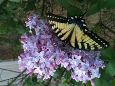 Monarch visiting my lilac tree