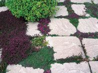 When laying down paving, plant creeping mints and thymes in sunny crevices and gaps, where they will release scent when stepped on.