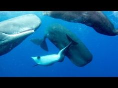▶ (OFFICIAL VIDEO) SPERM WHALES ADOPT DEFORMED DOLPHIN - YouTube