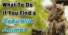 Here are some tips from the National Wildlife Rehabilitators Association you should follow when you find baby animals or birds in the wild. http://healthypets.mercola.com/sites/healthypets/archive/2013/07/29/baby-animal-rescue-plan.aspx