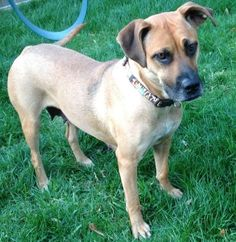 08/10/14 ~Baby Girl~ Black Mouth Cur & Boxer Mix • Adult • Female • Medium Buster's Friends Houston, TX