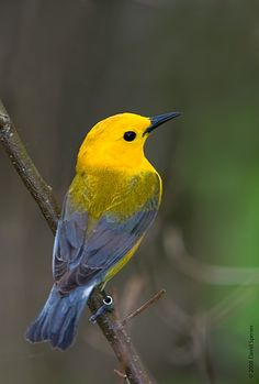 Prothonotary Warbler-  Summer breeding.  My favorite Warbler, pure beauty-