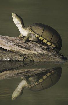 Yellow Mud Turtle, Kinosternon flavescens    Yellow Mud Turtle (Kinosternon flavescens), adult sunning on log, Starr County, Rio Grande Valley, Texas, USA