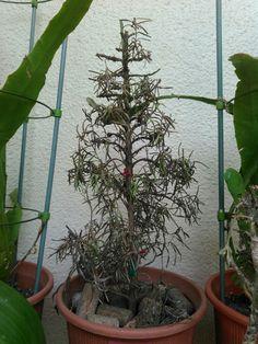 こんにちは。天候は、晴れ。埼玉は暑いです。先日紹介したローズマリー。これが現在の姿です。頼みの綱は、一本の挿し穂です。今日もよろしくお願いします。 #gardening #园艺 #원예 #ローズマリー #rosemary #herb #挿し穂 で #リスク分散 #hi #你好 #안녕하세요 #Привет #sunny #猛