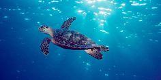 Meeresschildkröten sind Überlebenskünstler - seit 225 Mio. Jahren! Meeresverschmutzung und Beifang bedrohen die Meeresbewohner. Helfe mit, den WWF bei seinen Projekten zu unterstützen: http://bit.ly/yEeMnn  ©  naturepl.com / Doug Perrine / WWF