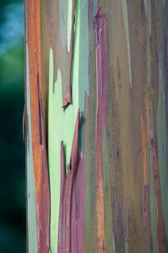 Colorful Bark of Rainbow Eucalyptus: Eucalyptus deglupta [Family: Myrtaceae]