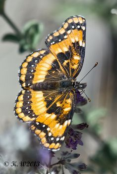 ✯ California Patch (Chlosyne californica)