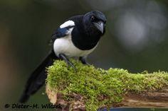 Elster / Eurasian Macpie