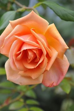 'Royal Sunset' | Climber, Hybrid Tea, Cl., Large-Flowered Climber. Dr. Dennison H. Morey (United States, 1960)