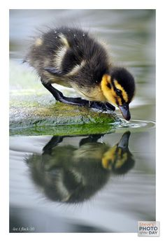 Duck babyy, aka duckling if we want to be gramatically correct.