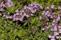 Thymus.doerfleri.7643 - Thymus doerfleri - endemic to Albania - Wikimedia Commons