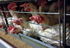 Chickens crammed into cages with little space.