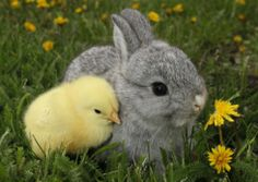 Gray Rabbit Bunny Baby and Yellow Chick Best FriendsBy Richard Peterson - Tiere Pin Baby Animals Super Cute, Cute Baby Bunnies, Cute Little Animals, Cute Funny Animals, Cute Babies, Tiny Baby Animals, Animal Babies, Cute Bunny Pictures, Baby Animals Pictures