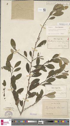 L.2120944 | Erythroxylum novogranatense (Morris) Hieron.