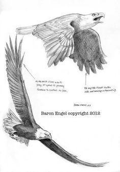 Bald Eagle study 01 by Baron-Engel on DeviantArt Bird Drawings, Animal Drawings, Drawings Of Eagles, Animal Sketches, Drawing Sketches, Drawing Art, Eagle Sketch, Eagle Drawing, Eagle Art