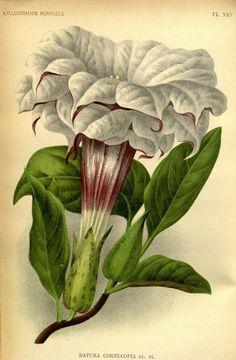 Datura Cornucopia, v.42 (1895) - L'Illustration horticole : - Biodiversity Heritage Library