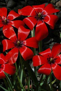 Tulipa linifoia