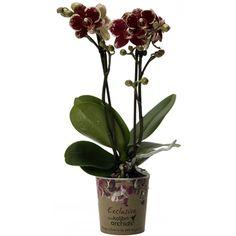 Little kolibri orchid 2tak spain