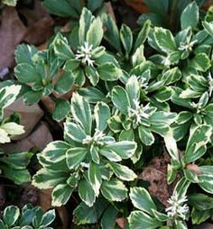 Varigated Pachysandra - shade and low ph loving plants.  Only plant that will grow under evergreen trees