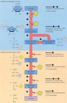 Glycolysis: takes place in the cytosol; first stage of glucose catabolism; series of reactions that lead to the oxidative breakdown of glucose into 2 molecules of pyruvate (ionized form of pyruvic acid); production of ATP, the reduction of NAD+ into NADH; mediated by specific enzymes