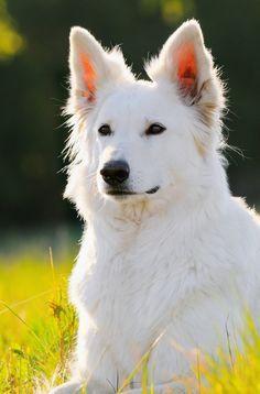 White German Shepherd Dog     #germanshepherds #dogchews http://www.petrashop.com/