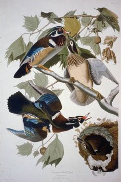 """Summer or Wood Duck: The Birds of America by John James Audubon, Vol. III, Pl. 206. London, 1827-1838, (Elephant Folio). From the John James Audubon """"Bird's in America Collection"""" in the Rare Book and Special Collections Division at the Library of Congress. For the full work see:  http://hdl.loc.gov/loc.pnp/cph.3b52401"""