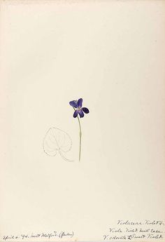 ニオイスミレ Viola odorata L. sweet violet Helen, Water-color sketches of New England flowering plants, (1899-1900)