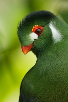 """I did a search for """"green bird with red eyes"""" and found it! This is a quetzal. They are found in forests and woodlands, especially in humid highlands. The Euptilotis species is almost entirely restricted to western Mexico,  in Baja Verapaz, Guatemala. They are fairly large (13"""" long). These largely solitary birds feed on fruits, berries, insects and small vertebrates (frogs)."""